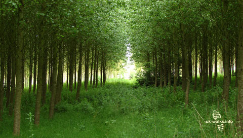 Poplar trees near Smisby in June 2011